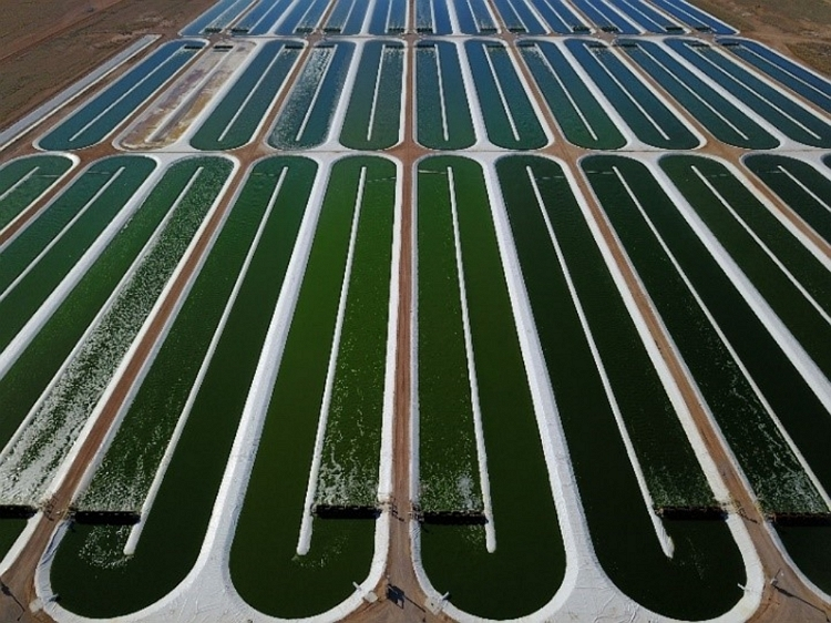acre ponds growing Nannochloropsis at the Columbus, New Mexico