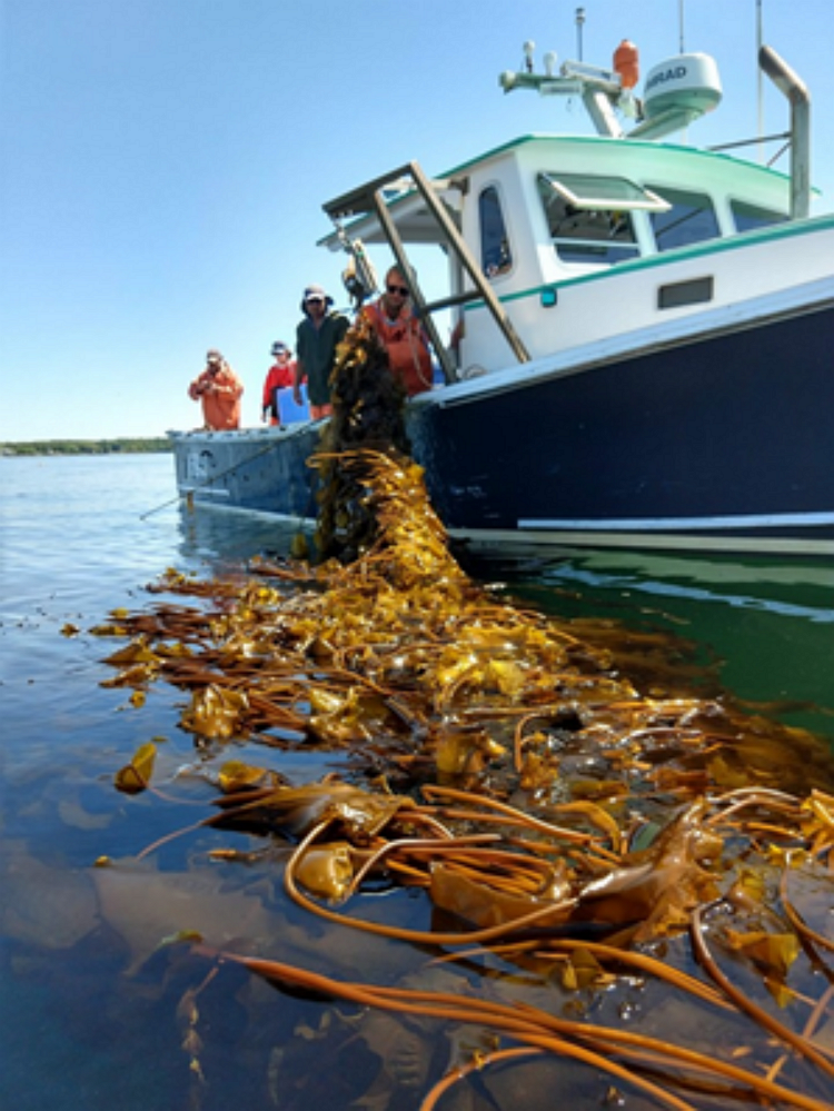 InShore Harvesting of Kelp at the University of New Hampshire.
